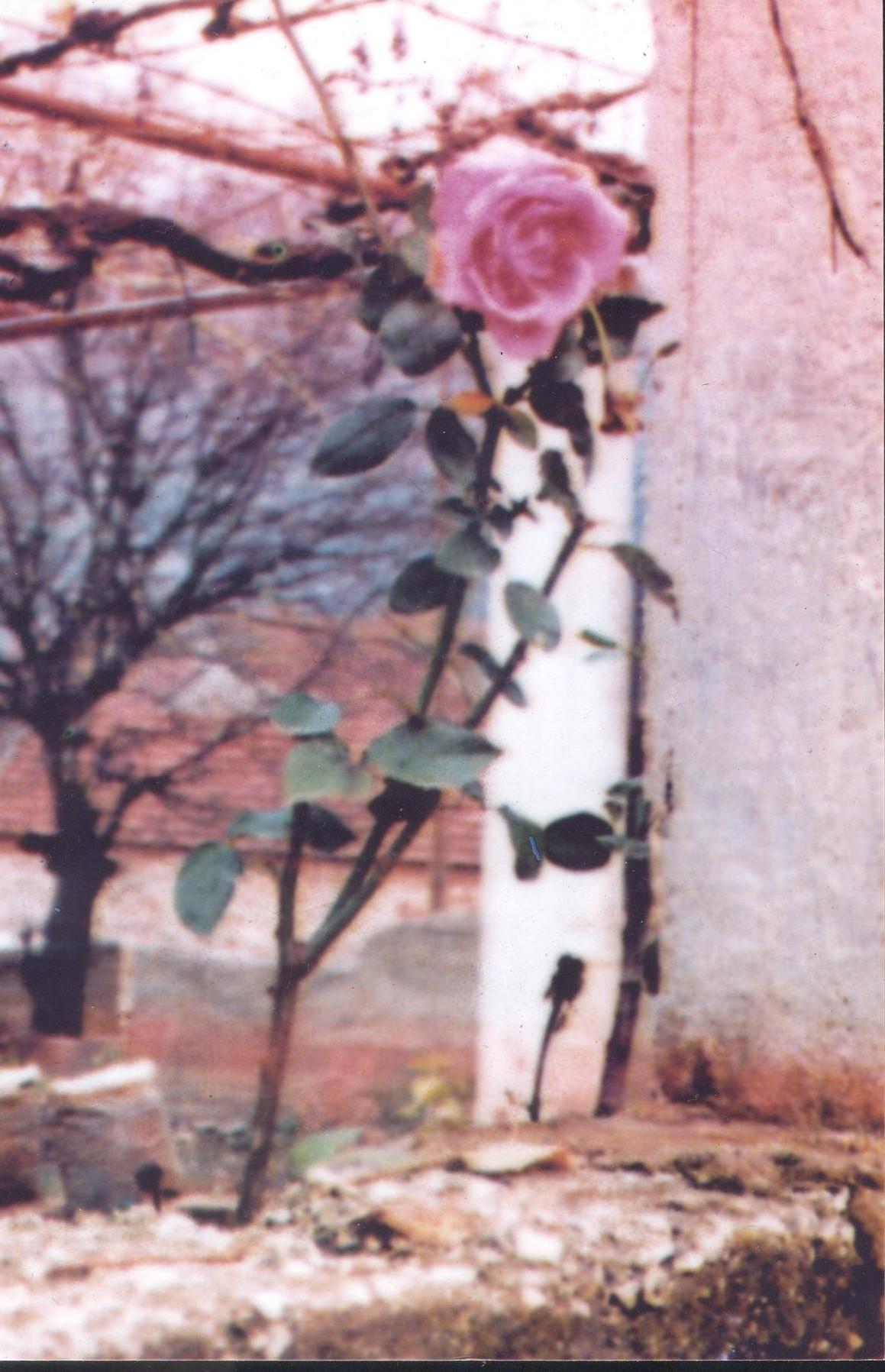 roseirademaria 001
